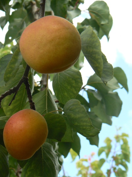 Hobart Apricots on Tree