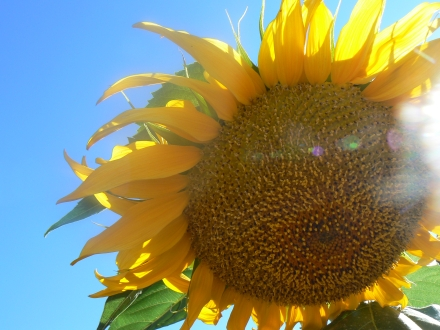Golden Yellow Sunflower Sky