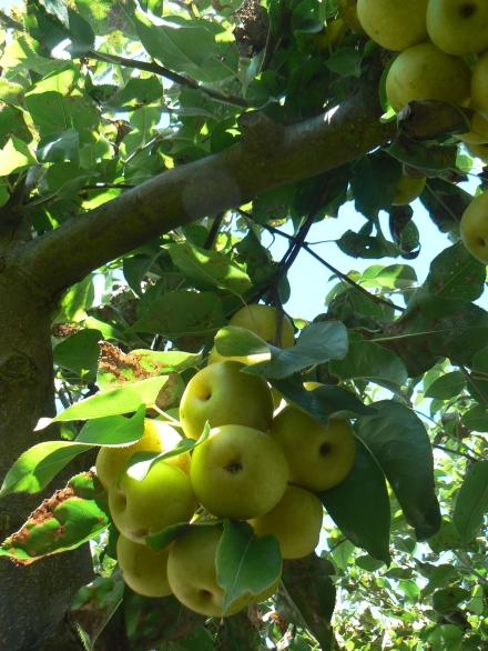 Nashi Tree Oriental Pear