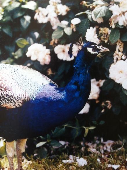 Peacock Blue Feathers Head Garden Design Theme