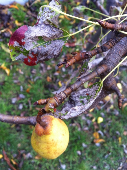 Pear Tree Garden Backyard Autumn Many Cha Cha Tasmania