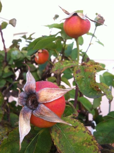 Leftovers Rosehips Roses Many Cha Cha Garden