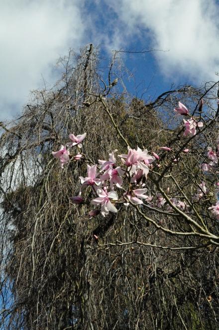 Positive Thinking Feeling Lucky Magnolia Flowers Tasmania Winter