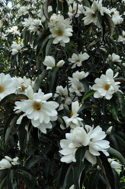Positive Thinking Feeling Lucky Magnolia Grandiflora Flowers Hobart Botanical Gardens