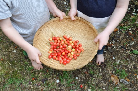 Cherry Picking Season Summer Cherries Children Home Made