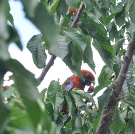 Cherry Tree Cherries Rosella Australian Bird